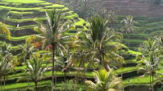 Growing rice in Indonesia