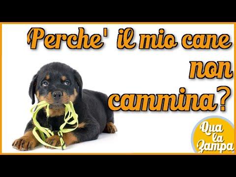 Perchè Il Mio Cane Non Cammina Qua La Zampa Youtube