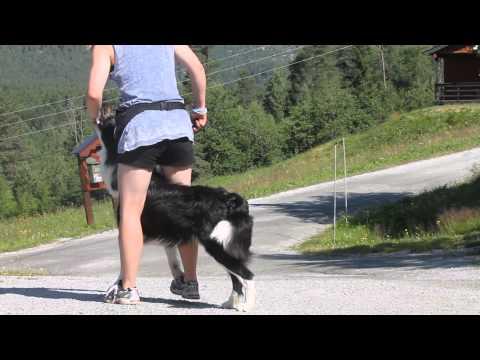Dog tricks with Border collie Nero