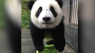 Giant panda sits down for a photo shoot