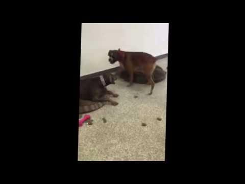 Doberman Pinscher vs Boxer Play Fight - Too Funny