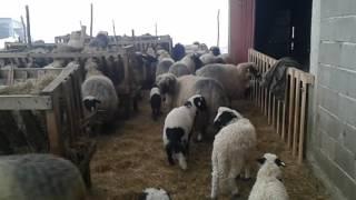 Ovce brace vikic samir