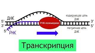 Синтез белка: транскрипция | самое простое объяснение