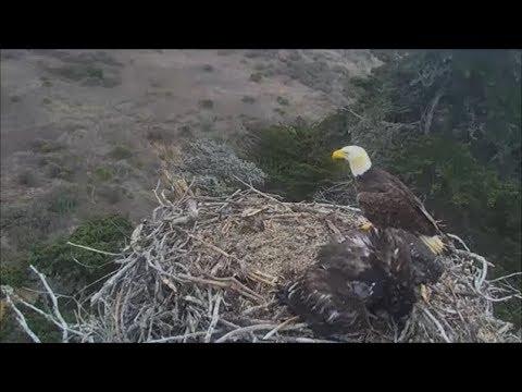 Sauces Bald Eagles- Youngest Eaglet Gets...