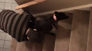 Teaching Our Foster Greyhound To Climb Up Stairs - Greyhound Friends Of Nj