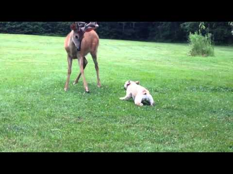 Adorable Dog And Baby Deer Play In The Yard