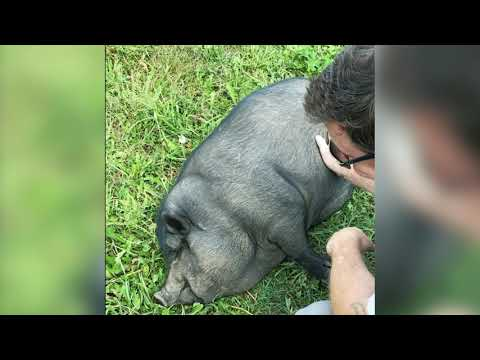 Potbelly Pig Purrs Like A Kitten