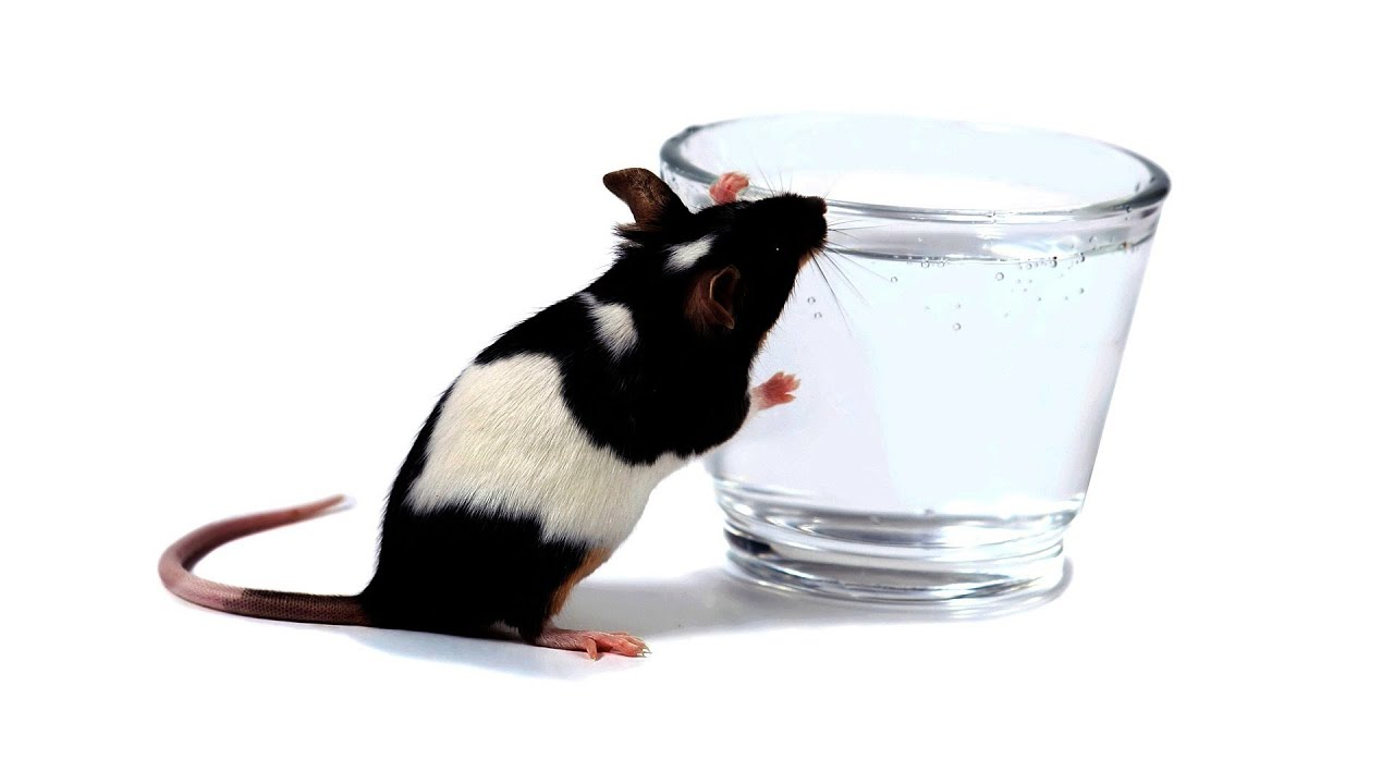 How Much Drinking Water Do Rats Need? | Pet Rats - YouTube