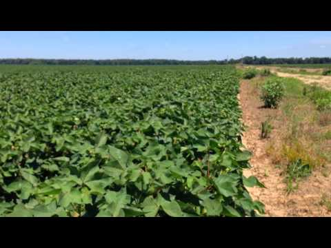 Stages of a Cotton Plant With a Pigweed Addendum
