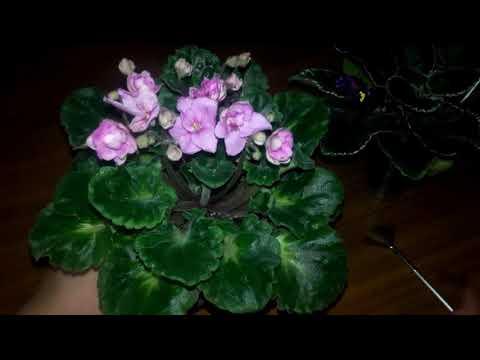 Вопрос: Как сделать чай из цветков фиалки?
