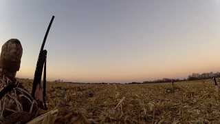 Indiana Duck Goose Hunt Corn Field - Geese and Mallards