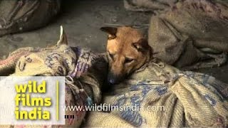 Dogs, puppies and dog meat for sale in north-east India: animal cruelty