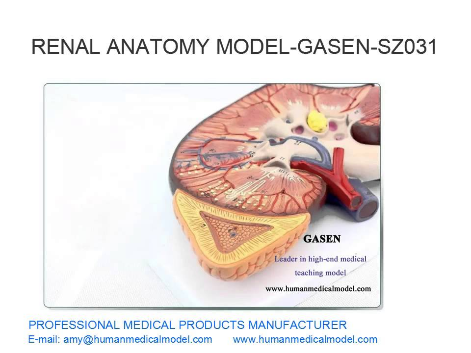 Kidney Internal Structure Model Renal Calculus Renal Anatomy Model