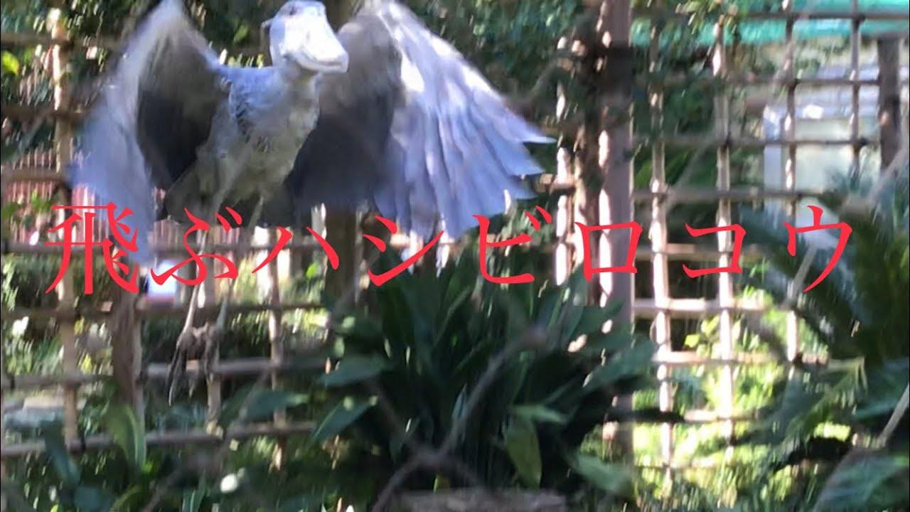ハシビロコウ 飛ぶ