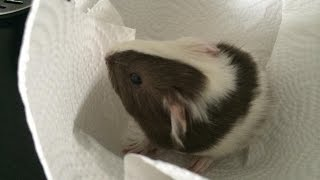 Guinea Pig Just Had A Baby!!!