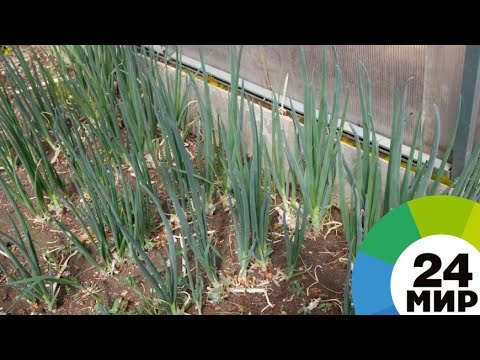 Фермеров в Армении учат выращивать «зеленые» овощи и фрукты - МИР 24