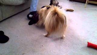 Pomeranian Vs.rottweiler Fight