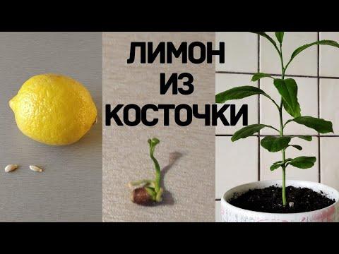 Вопрос: Почему не всходят семечки лимона?