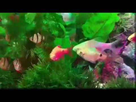 Sholawat Beground Ikan Hias Terapi Mata dan Telinga