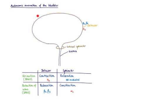 Brandl's Basics: Autonomic innervation of the bladder ...