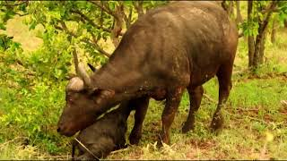 A Group of Buffalo  Save Mother Buffalo And  Her Calf From Hyenas
