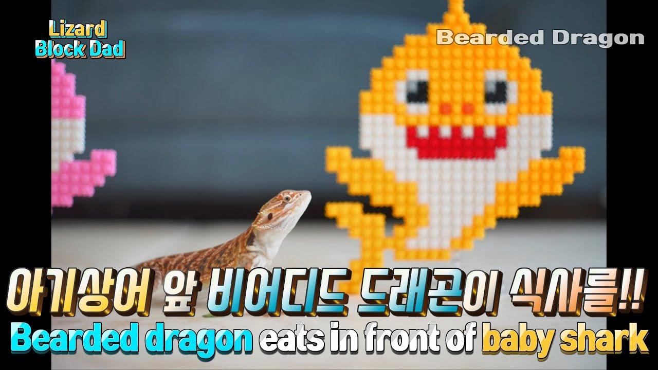 도마뱀 먹방! 비어디드래곤 아기상어 식사!! 맛있게 해요 The Bearded Dragon is eating with the baby shark.