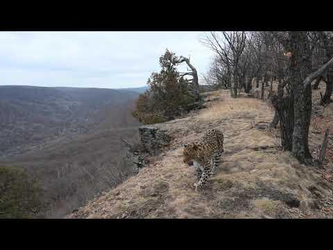 Леопард (часть 1)
