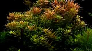 Rotala Rotundifolia - Aquatic Plants Guide
