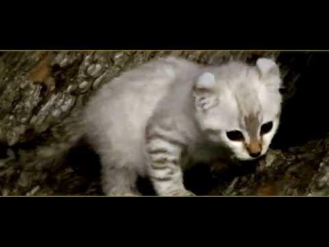 A Rare Exotic Highland Lynx Hybrid female white kitten 6 weeks old