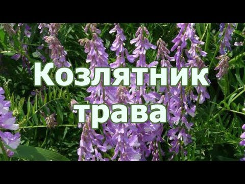 Трава Козлятник лекарственный (Галега), отзыв травоведа о растении при диабете для снижения сахара.