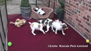 Little Rascals 3/4 French Bulldog Puppies
