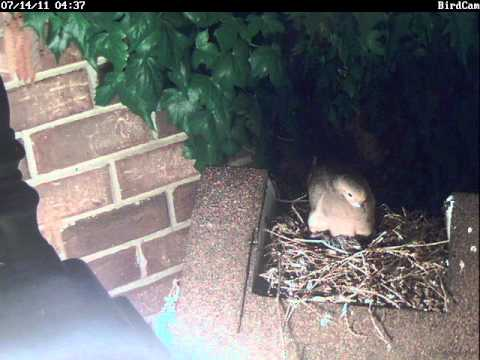 Mourning doves: hatching, fledging and leaving the nest