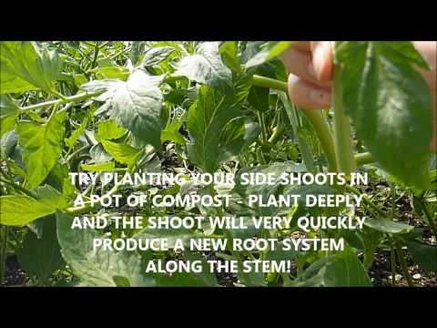 How to side shoot, pinch out, prune your indeterminate tomato plants