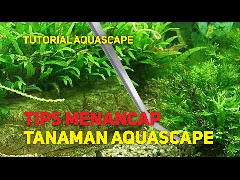tutorial-menancap-tanaman-aquascape!
