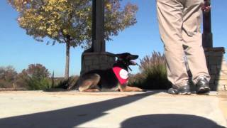 Atlanta Board & Train - Sit Means Sit Dog Training - Tink