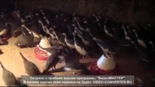 Цесарки загорская белогрудая.mp4