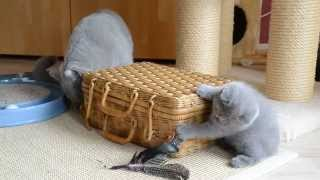 British Shorthair Cat and Kittens