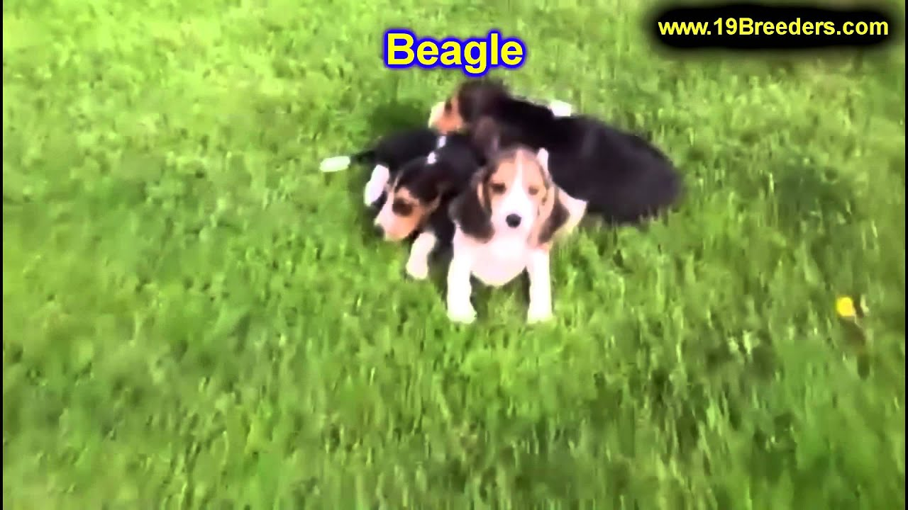 Beagle Puppies For Sale In Philadelphia Pennsylvania Pa