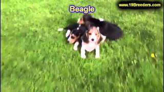 Beagle, Puppies, For, Sale, In, Philadelphia, Pennsylvania, Pa, Borough, State, Erie, York