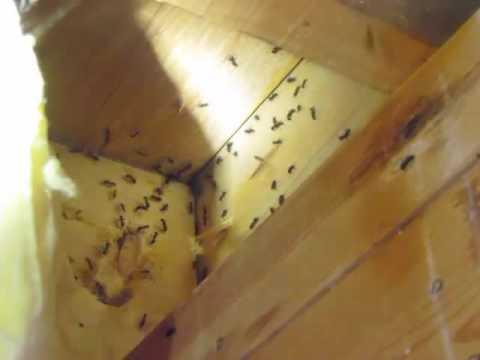 Hundreds of Carpenter Ants Sutton, Ma. USA | Bug Bully Pest Control Grafton, Ma.