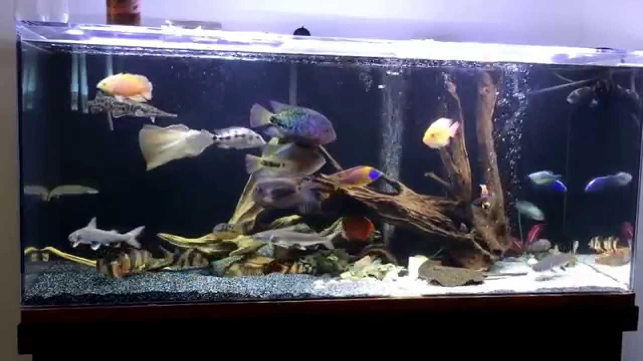Colorful fish for aquarium freshwater - Colorful Freshwater Aquarium Fish