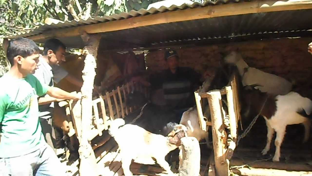 Repeat boer local khari goat farming in waling -10 pakhu syangja