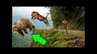 TİGER vs BEAR Real Fight ►► Leopard Python Snake Wild Dogs Lion   Most Amazing Wild Animal Attacks