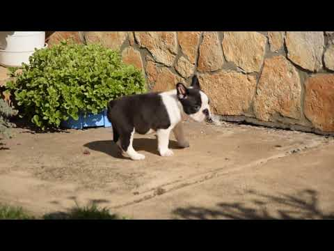 Chess - Boston Terrier Puppy for sale