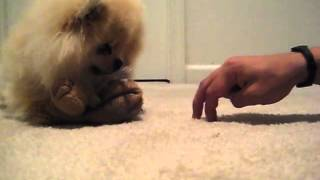 Pomeranian Protecting His Toy