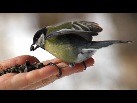 Интересные факты из жизни большой синицы - Птицы России - Фильм 7
