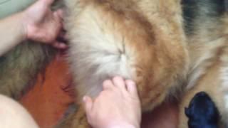 Принимаем роды у немецкой овчарки(помогаем вытащить щенка и разрываем плодный пузырь )