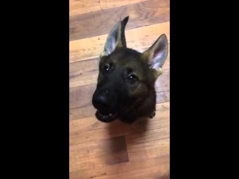 How to teach your puppy to speak on command | Havok | German Shepherd | Eight Weeks Old