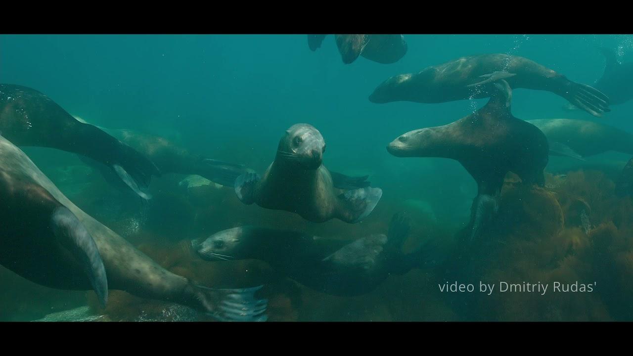Краснокнижные морские львы попали на видео в Морском заповеднике (автор видео - Дмитрий Рудась)