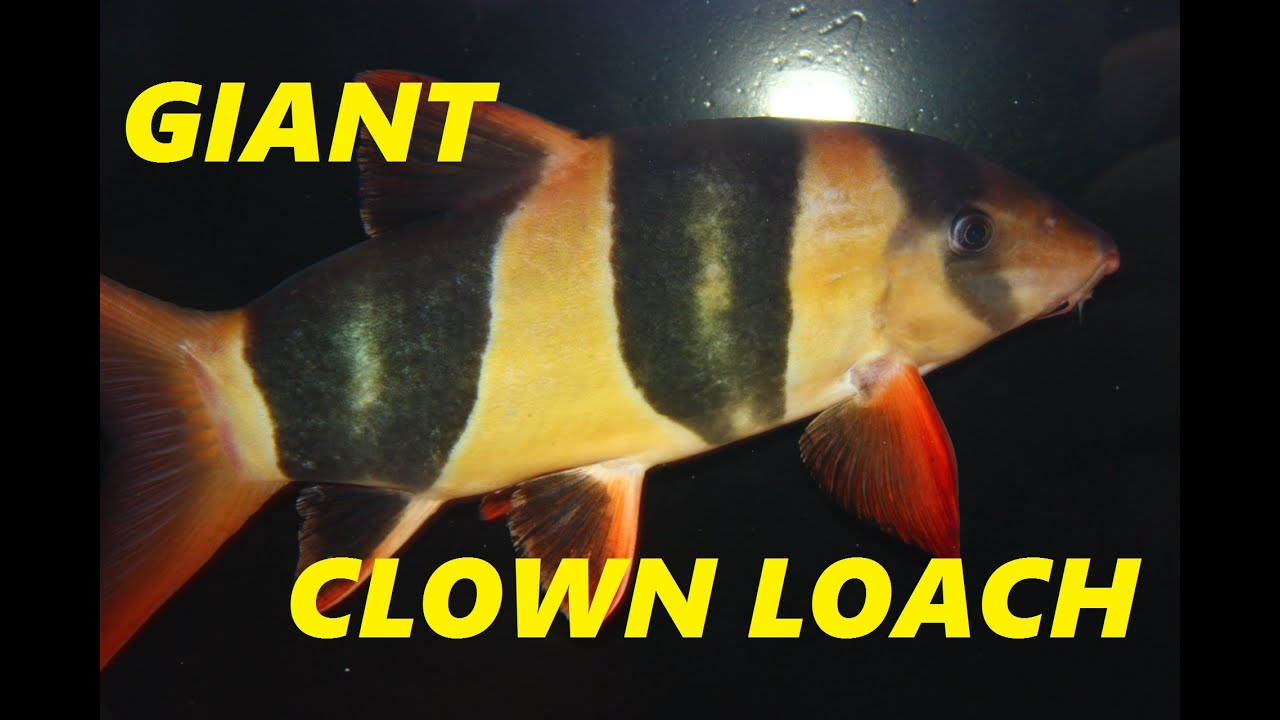 how to keep clown loaches alive